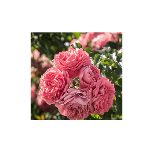 Hydrolat de Rose de Damas pure 200 ml